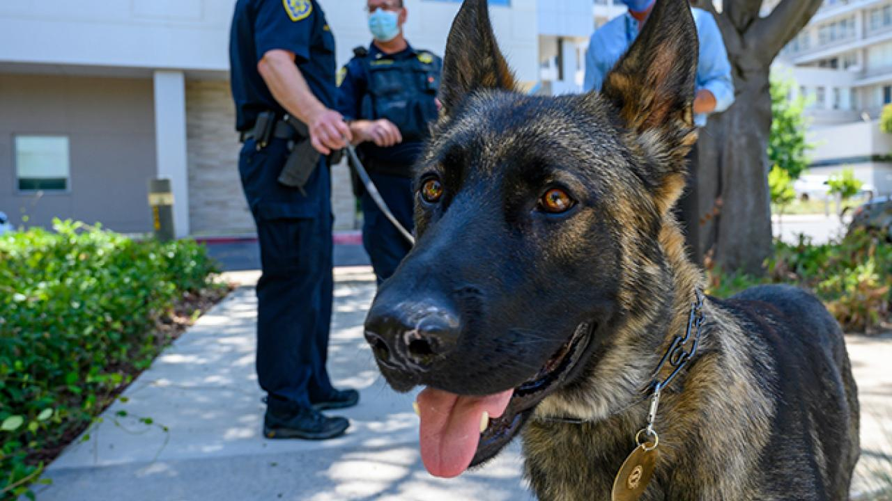 Close-up on German shepherd dog's face, on a leash with police officers in the background